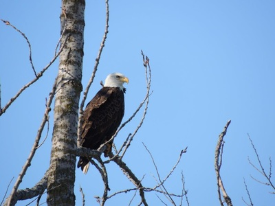 Champaign County Bald Eagle